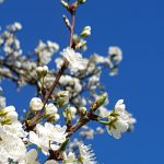 Wichter bloei